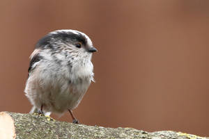 The Little fluffy one - Long Tailed Tit by pell21