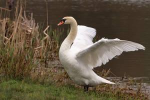 Swan by pell21