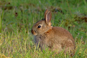 Baby Rabbit in the evening sunshine by pell21