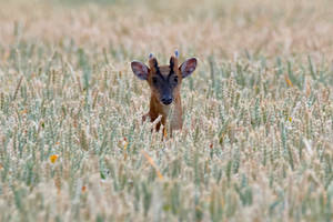 Muntjac in a field of corn 25-7-18 by pell21