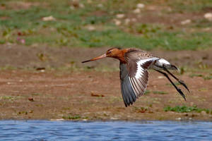 Black-tailed Godwit in-flight 28-7-18 by pell21
