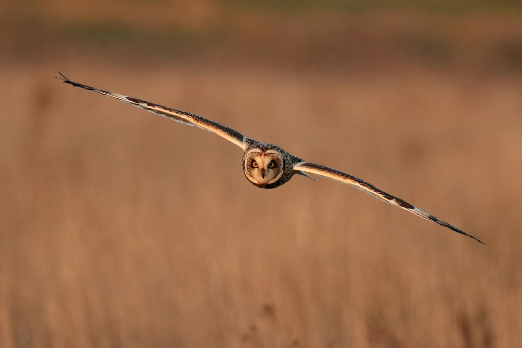Short Eared Owl 14-11-18 by pell21