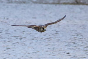Peregrine Falcon 25-11-18 by pell21