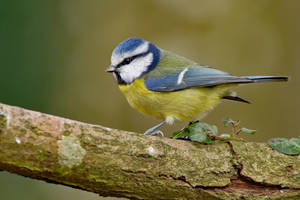 Blue Tit 29-12-18 by pell21