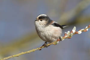 Long-tailed Tit 4-3-19 by pell21