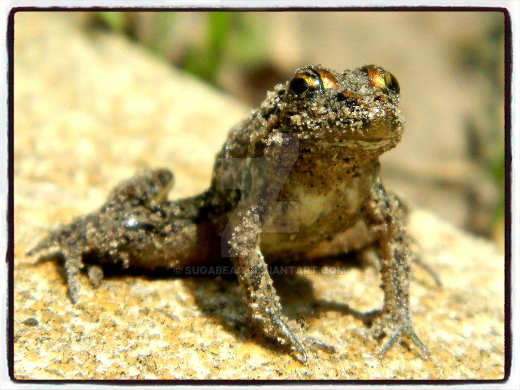 Frog02 by sugabear