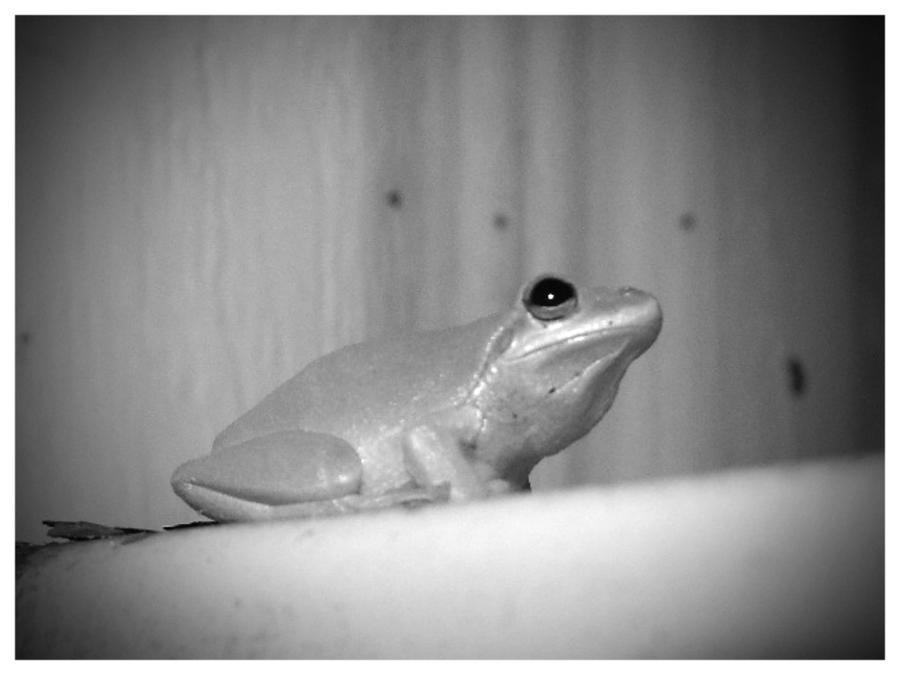 Frog by sugabear
