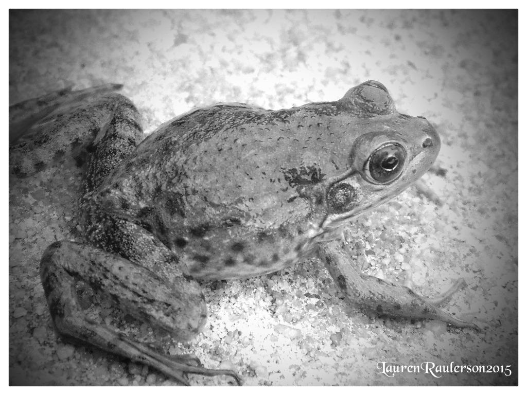 Frog1- by sugabear
