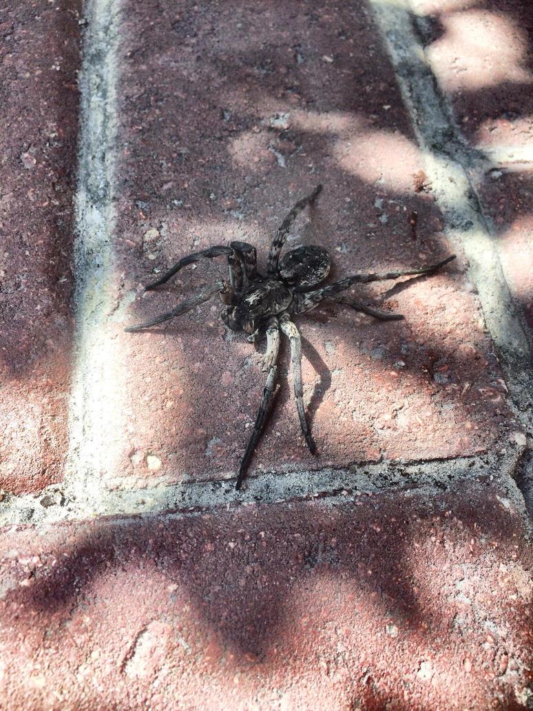 Wolf Spider  by sugabear
