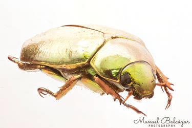 Golden beetle by mabl65