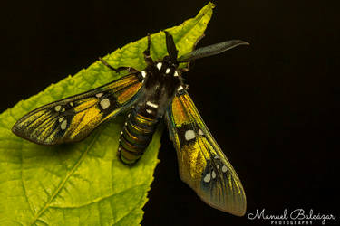Princely tiger moth by mabl65