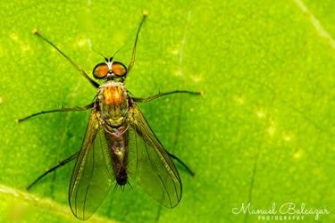 Dolichopodidae by mabl65