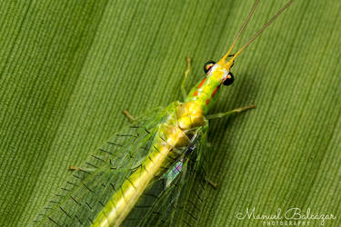 Lacewing by mabl65