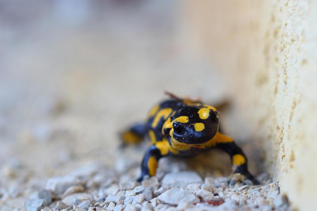 salamander 2 by nathanmagnin