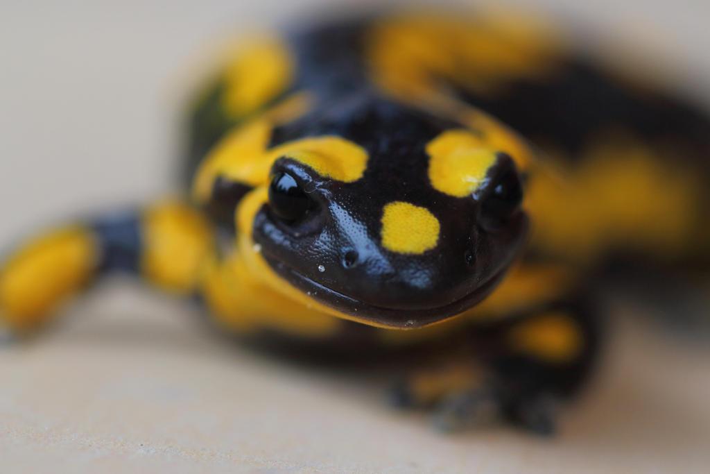 salamander 3 by nathanmagnin