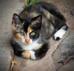 The Memory Of The Calico Cat