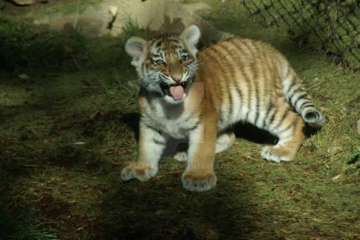 Amur Tiger Cub 3