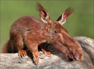 moosquirrel