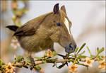 horsefinch