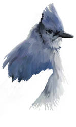 Blue Jay for a special someone