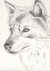 Wolf sketch ACEO