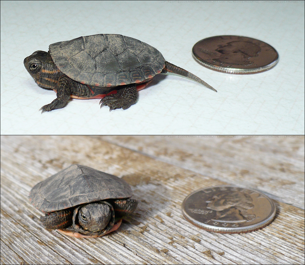 Baby Painted Turtle by Undistilled