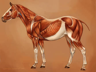 Horse Muscles Reference by EponaDraws