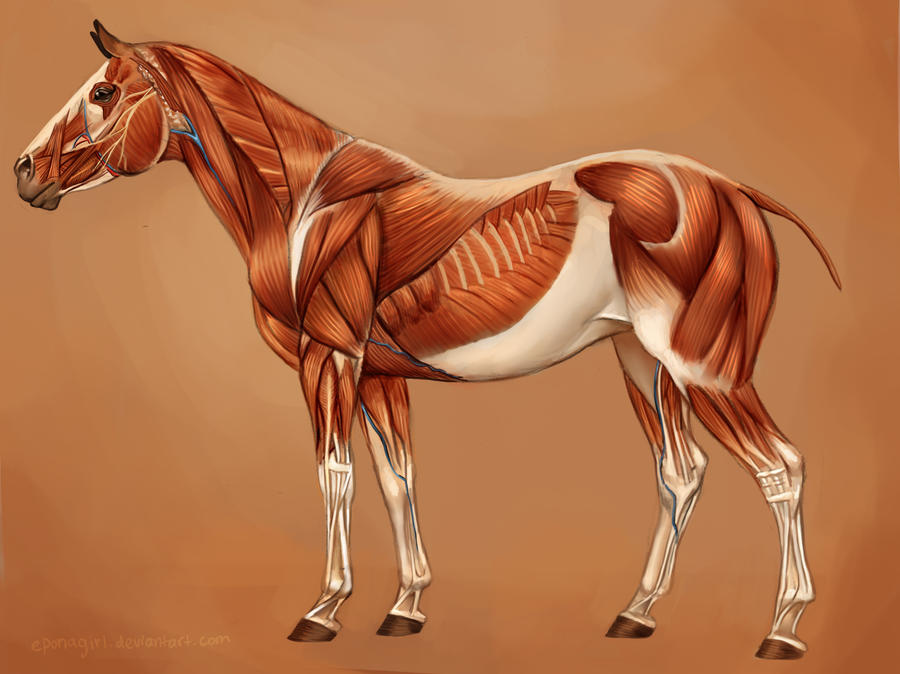 Horse Muscles Reference by EponaN64 on DeviantArt