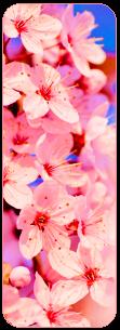 [F2U] Sakura Divider by MundienaSKD