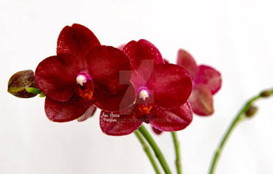 Phal Haur Jih Fancy - Pine Ridge Orchids