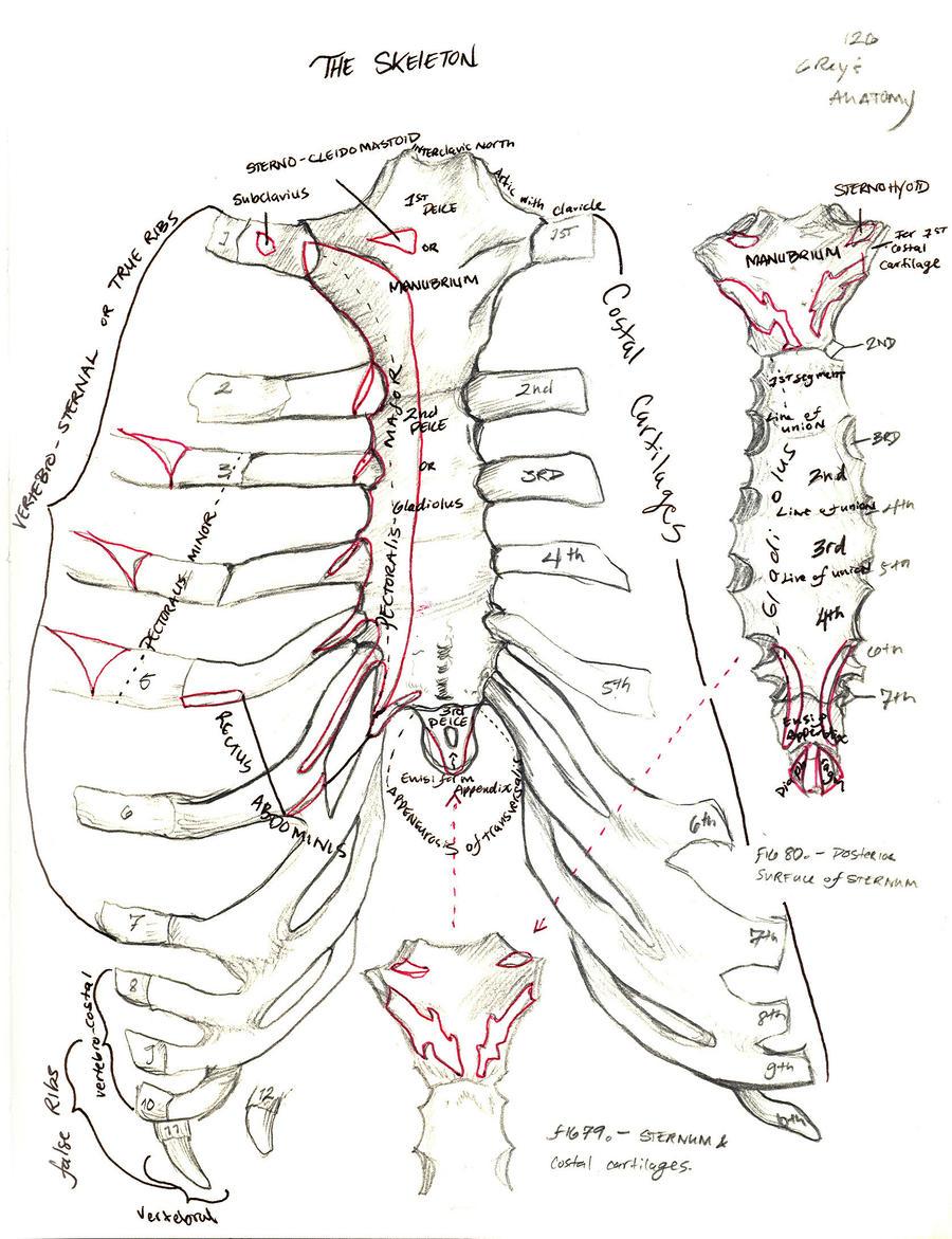 Rib Cage- The Skeleton by Typhoidxxlo on DeviantArt
