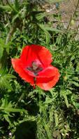 Poppy on my walk around my Village this morning by mr-macd