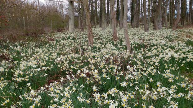 Daffodil Delight