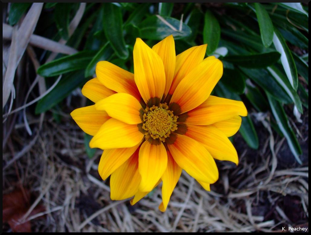 Yellow flower birds eye by p858snake