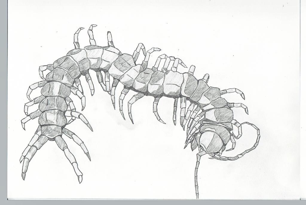 Scolopendra gigantea head - photo#9