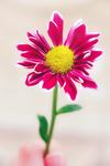 my bright flower by Haifona