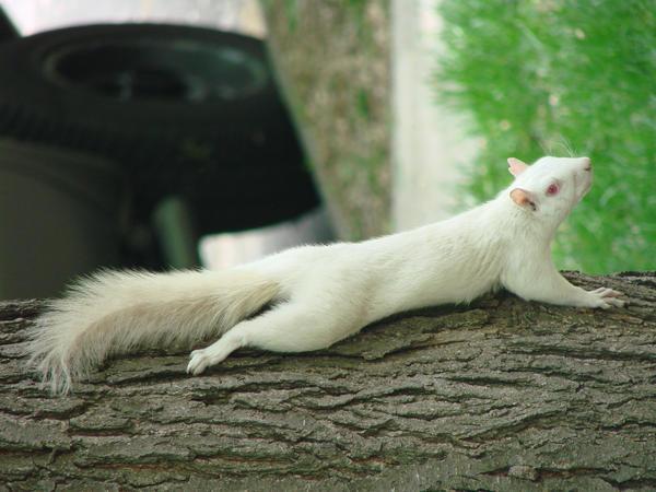White Squirrel Stock 4 by Ahyicodae-stock