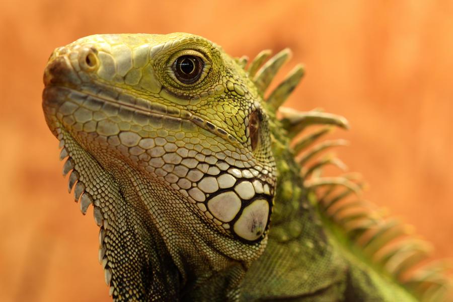 Iguana by PoisonAgency