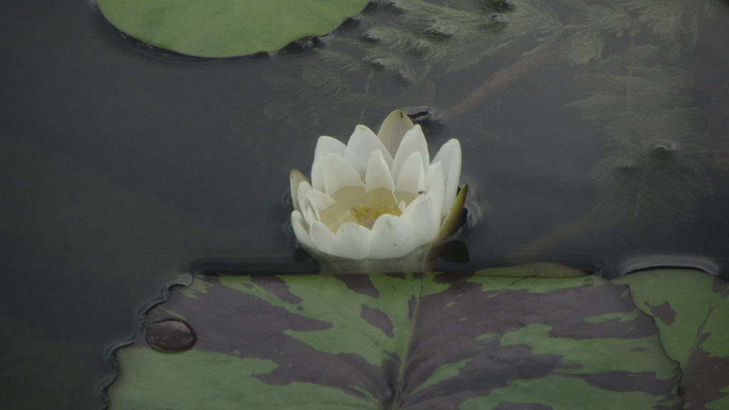 Lotus 2 (Drowning in You) by changetheFATES