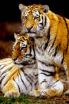 Two Tiger Cubs 2