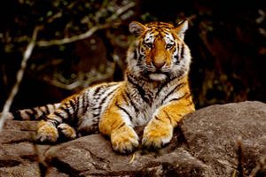 Tiger 16 by Art-Photo