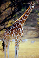 Giraffe 8 by Art-Photo
