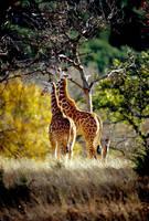 Two Giraffes 3 by Art-Photo