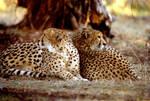 Two Cheetahs 9