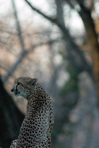 Cheetah 21 by Art-Photo