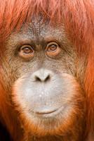 Orangutan 38 by Art-Photo