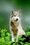 Mexican Wolf 13 by Art-Photo