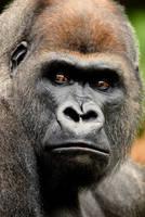 Western Lowland Gorilla 30 by Art-Photo