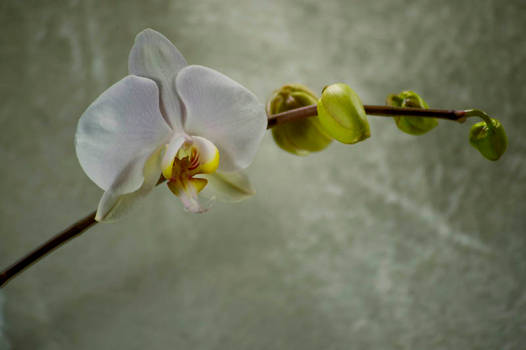 Orchid Bloom 2