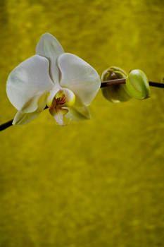 Orchid Bloom 5